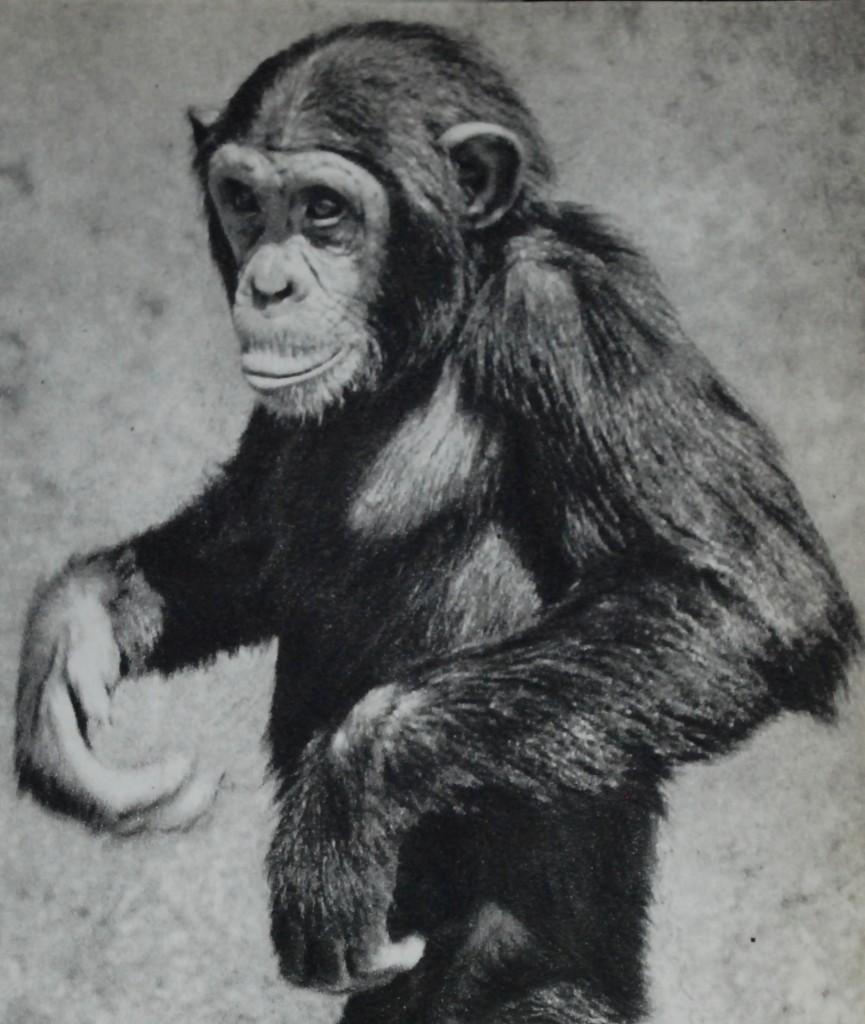 4. Vår charmige vän chimpansen, alt. 2